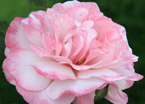 h rose